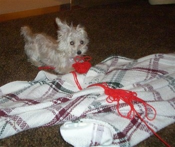 The front right side of a white YoChon puppy that is playing with unraveled red yarn over a blanket
