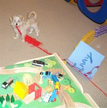 The front left side of a white YoChon puppy that is dragging yarn across a play room