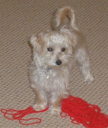 A white YoChon puppy is standing over unraveled red yarn and it is looking to the right.