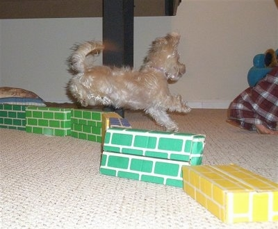 The right side of a white YoChon puppy that is jumping over a wall made of cardboard
