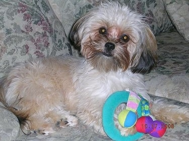 The right side of a fluffy tan with black Yorkie Apso that is laying across a couch there is a toy in front of it. The head of the small dog is slightly tilted to the right. It has darker hair on its ears and muzzle, a black nose and dark round eyes with black lips.