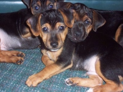 Three black with brown and white shorthaired Yorkie Russell puppies are laying on top of a carpet in a pile. All of the pups have small ears that fold over to the front, wide round black eyes and black noses..