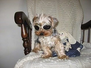 Joey the Yorkie is sitting in a wooden rocking chair and wearing dog goggles with a stuffed rabbit plush doll next to it.