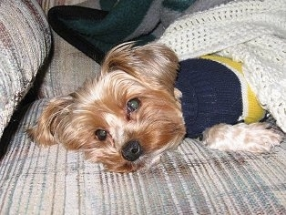 Joey the tan Yorkie is wearing a blue and yellow sweater laying on a tan striped couch under a light yellow crochet blanket.
