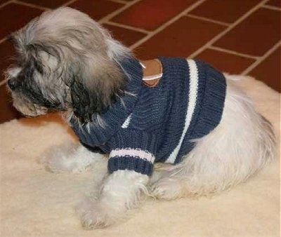 The left side of a white with gray and black Zuchon puppy that is sitting on a rug and it is wearing a knit sweater. it is looking to the left. Its ears hang down to the sides.