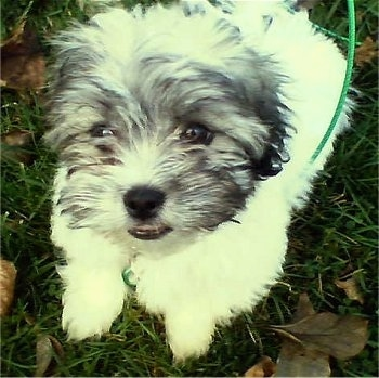 Close up - A white with gray and black Zuchon puppy is laying in grass and it is looking up. It has a thick furry coat.
