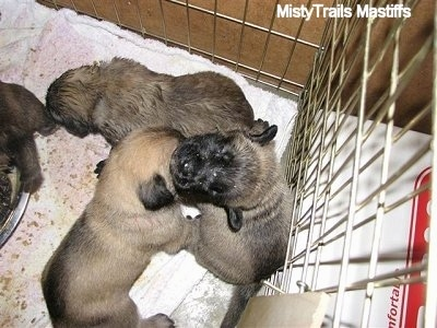 Three Week Old Puppies get their First Feeding of Mush