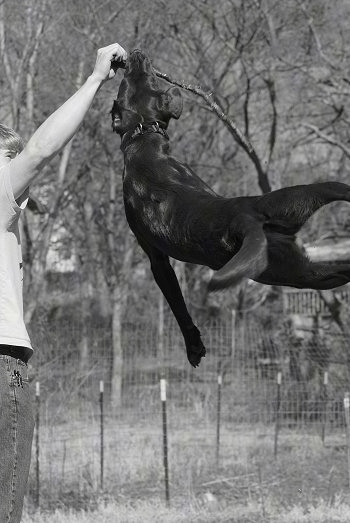 Toby the Chocalate Lab is several feet off of the ground jumping up to grab a stick out of a persons hand. The picture is in black and white
