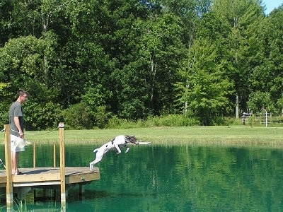 Tom the Short Haired Pointer is jumping into a body of water with a stick in its mouth. There is a person standing on a dock behind it.