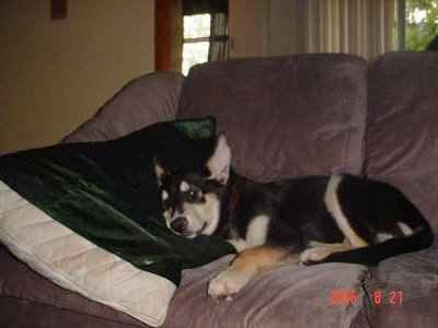 The left side of a black with tan Alaskan Husky puppy that is laying on a couch with its head on a pillow
