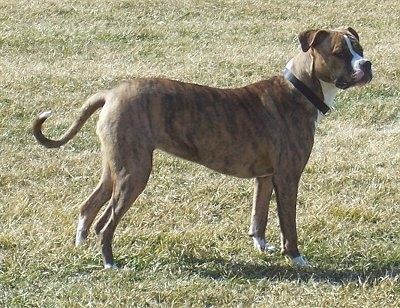 The right side of a brindle with white American Bulldog that is standing across grass and it is looking to the right.