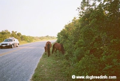 Two Ponies eating grass roadside