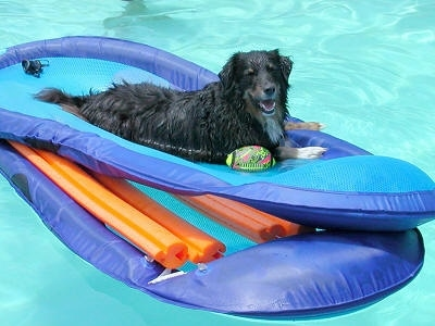 The right side of a black with white Australian Shepherd that is laying on a floaty in the middle of a pool, next to a dog toy with its mouth open