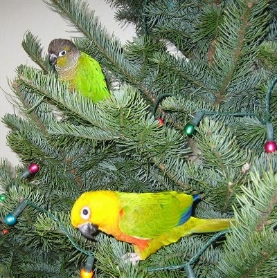 A Green Cheek bird and a Jenday Conure arestanding in a Christmas tree that has lights wrapped around it.