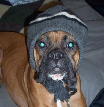 Close Up - Ryken the Boxer laying on a blanket and wearing a knit cap