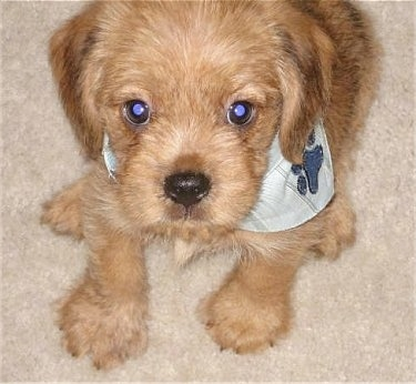 Tan Bea Griffon as a puppy wearing a dog paw bandana sitting on a carpet