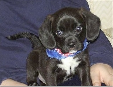 Jordy the Bea Griffon as a puppy sitting in a persons lap
