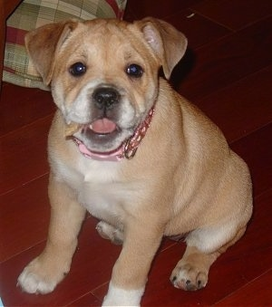 Our Beagle Bulldog Mix At 1 Year Old Her Mother Was An ...