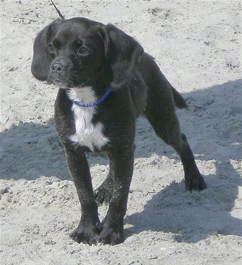The front left side of a black with white Bea Griffon puppy that is standing in the sand and it is looking ot the left.