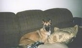 Kia the Belgian Malinois laying on a couch next to a pillow