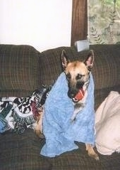 Kia the Belgian Malinois sitting on a couch with a toy tennis ball in its mouth and a blue towel wrapped around it