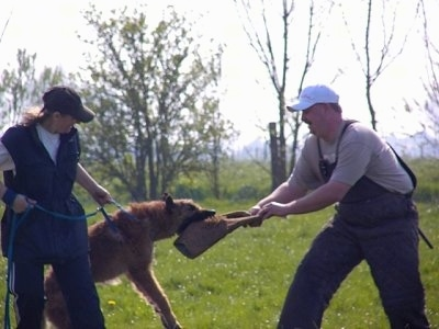 The right side of a brown Belgian Shepherd Laekenois that is having a tug of war with a person in front of it. There is a person behind it pulling it back. This is apart of its IPO training.