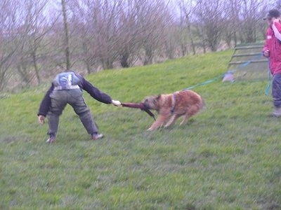 The left side of a brown Belgian shepherd Laekenois that is having a tug of war with a person in front of it. There is a person standing behind the Shepherd holding its leash. This is apart of its IPO training.