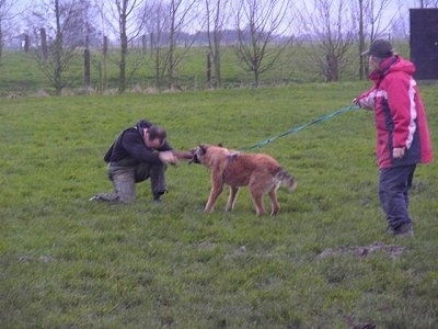 The back left side of a brown Belgian Shepherd that has a leash on that is being held by a person behind it. The Shepherd is having a tug of war with a person kneeling in front of it. This is apart of its IPO training.