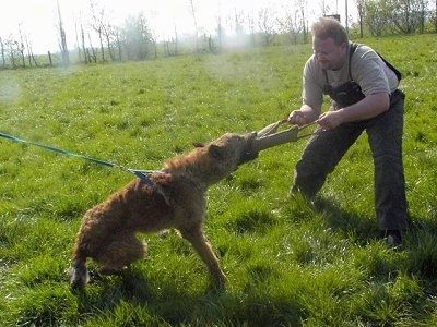 The right side of a brown Belgian Shepherd that is having a tug of war with a man outside in grass. This is apart of its IPO training.