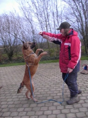 The right side of abrown Belgian Shepherd Laekenois that is standing up on its hind legs. There is a person standing in front of it with their hand over the head of the dog.
