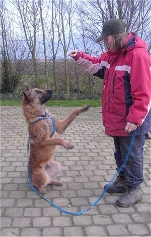 The right side of a brown Belgian Shepherd Laekenois is sitting on its hind legs and its front paws are in the air. It is looking at a person in front of it who has there hands up.