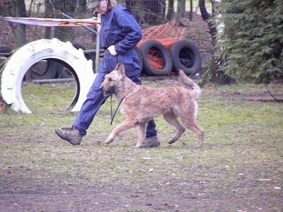 The left side of a tan Belgian Shepherd Laekenois that is being walked around a training course