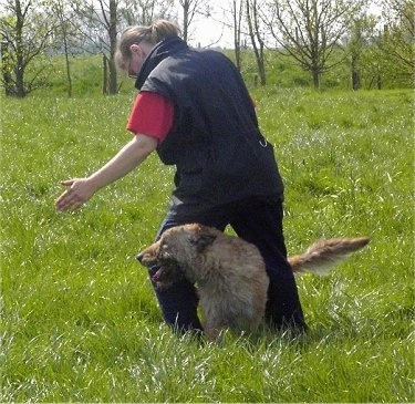 A tan Belgian Shepherd Laekenois is running in between a persons legs, in a field