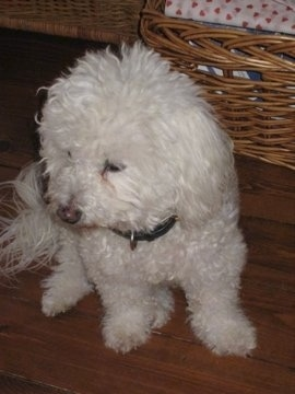 Bean the Bichon Frise sitting on a hardwood floor next to a brown wicker basket looking down and to the right