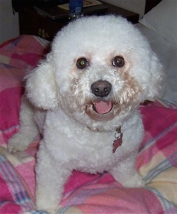Close Up - Maddie the Bichon Frise sitting on a bed looking at the camera holder with her mouth open