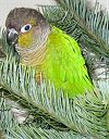 A light green with white, yellow and black Conures is laying in pines of a tree.