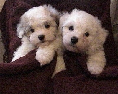 Two Biton Puppies wrapped in a blanket and they are looking forward.