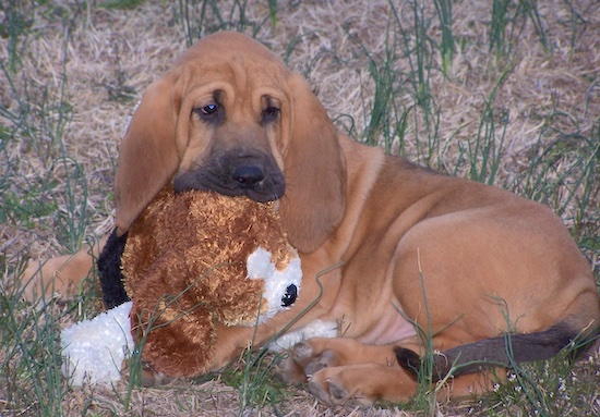Abby the Bloodhound puppy laying outside with a plush toy of a dog