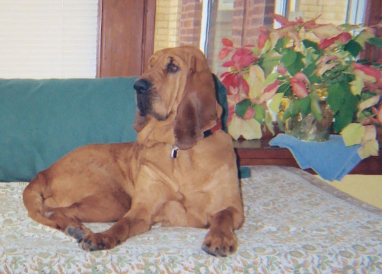 The right side of a red Bloodhound that is laying across a day bed and it is looking to the left.