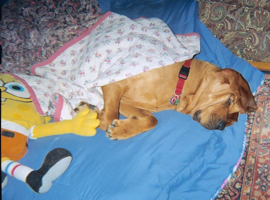 The right side of a red Bloodhound that is sleeping on a blanket next to the Spongebob Squarepants Plush Doll