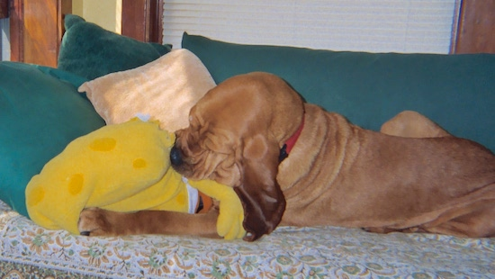 The left side of a red Bloodhound that is laying across a couch and it is chewing on SpongeBob SquarePants Plush doll.