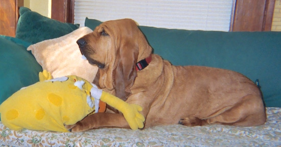 The left side of a red Bloodhound that is laying on a couch with a plush spongebob squarepants doll in front of it.