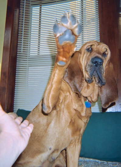 A red Bloodhound is sitting on a bed and it has a paw in the air