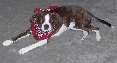 Close Up - Marley the Boglen Terrier laying on the carpet wearing a maroon and white bandana looking at the camera holder