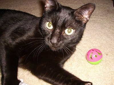 Close Up - Coco the Bombay Cat laying on a carpet and looking back at the camera with a pink and green cat ball toy next to her
