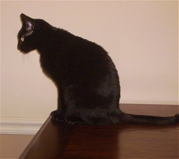 Coco the Bombay cat sitting on a table and peering over the edge