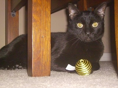 Coco the Bombay cat under a table with a golden cat toy