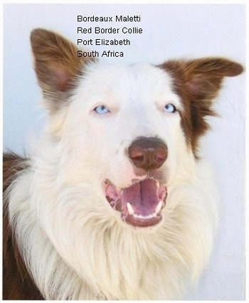 Close Up - Bordeaux the Border Collie with its mouth open. The Words 'Bordeaux Maletti Red Border Collie Ort Elizabeth South Africa' are overlayed