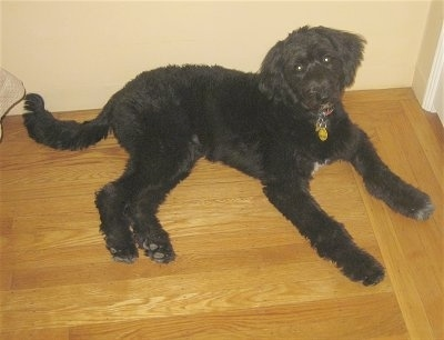 The right side of a black Bordoodle that is laying on a hardwood floor and it is leaning against a wall.