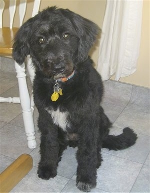 A black with white Bordoodle is sitting on a tiled floor, its head is slightly tilted to the left, it is sitting next to a chair and a table